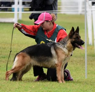Australian Champion Schaeferhund Balleena BSC1 AZ ET RN  Owned by Michelle Mercieca and Angela Bohdal