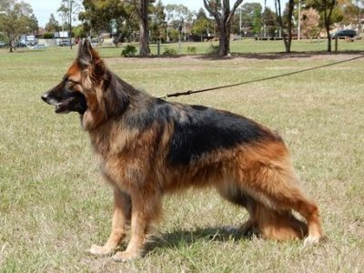 "T.CH.TS.GRAND.CH.JAYSHELL WILD TALIA ""AZ"" RN.ET.    Owned by Lyn Pickering"
